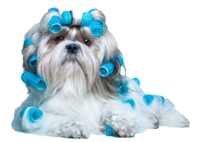 dog in curlers